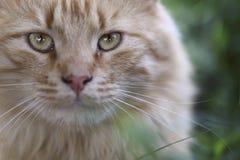 Museau d'un chat rouge Regard strict d'un chat aimé photographie stock