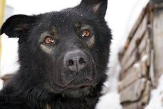 Museau d'un chien noir Images libres de droits