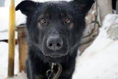 Museau d'un chien noir Photos libres de droits