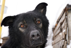 Museau d'un chien noir Photographie stock
