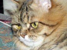 Museau d'un plan rapproché de chat Photos stock