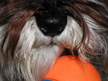 Museau de chien, Bell orange Images stock