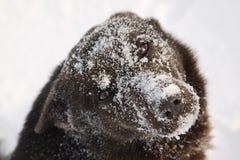Museau de chien couvert de neige Photo libre de droits
