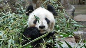 Museau de panda dans des feuilles Course autour du monde photos libres de droits