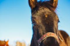Museau du plan rapproché Arabe noir de poulain contre les grands yeux expressifs du cheval image stock