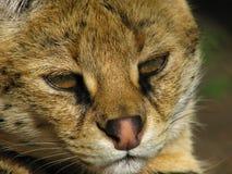 Museau du serval Photographie stock