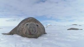 Museau en gros plan de joint d'éléphant se trouvant sur la neige clips vidéos