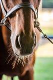 Museau mis un frein de cheval photo stock