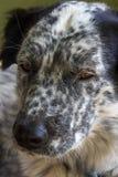 Museau noir et blanc mignon du ` s de chien Image stock