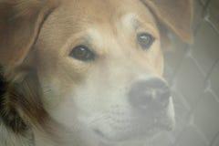 Museau principal haut étroit du beau jeune chien thaïlandais extérieur photographie stock