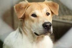 Museau principal haut étroit du beau jeune chien thaïlandais extérieur photo stock