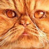 Museau rouge persan de chat Photographie stock