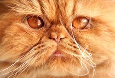 Museau rouge persan de chat Image stock