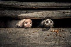 Museaux de porc Photographie stock libre de droits