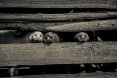 Museaux de porc Images libres de droits