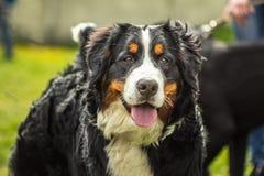 Muselez le chien de montagne de Bernese de chiens de pedigree Berner Sennenhund Images stock