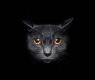 Muselez un chat sur un fond noir Images libres de droits