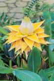 Musella-lasiocarpa - goldene Lotus Banana Flower oder chinesische Zwergbanane-Blume lizenzfreie stockfotos