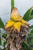 Musella lasiocarpa musaceae bud of golden lotus banana plant from yunnan china Stock Photo