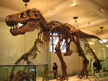 Museo americano de la historia natural, dinosaurio, tiranosaurio, atracción turística, extinción fotos de archivo libres de regalías