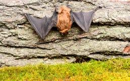 Museo della natura Mammiferi naturalmente capaci del volo vero e continuo Gli occhi battono piccolo di specie sviluppato male blo fotografia stock libera da diritti