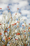 Museo Dolores Olmedo tree branches with red flowers and sky with clouds. Cape Royalty Free Stock Image
