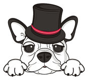 Museruola del bulldog francese in black hat Immagine Stock