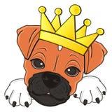 Museruola del cane del pugile in corona Fotografia Stock