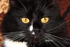 Museruola del gatto nero Fotografia Stock