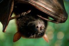 Museruola del pipistrello Fotografia Stock Libera da Diritti