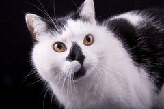 museruola del primo piano del gatto bianco e nero Immagine Stock Libera da Diritti