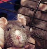 Museruola del ratto Immagine Stock