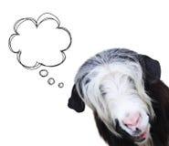 Museruola della capra di colore in bianco e nero Immagini Stock