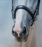 Museruola dello stallone grigio con la fine bianca del segno su Fotografia Stock