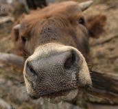 Museruola di giovane mucca Fotografia Stock Libera da Diritti