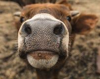 Museruola di giovane mucca Immagini Stock Libere da Diritti
