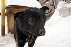 Museruola di un cane nero Immagine Stock