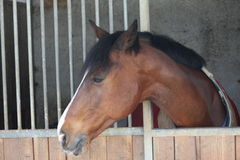 Cavallo che esce con la sua testa dal granaio Immagine Stock