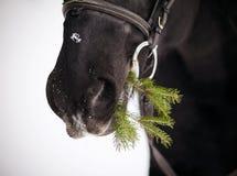 Museruola di un cavallo con un ramo dell'abete Immagine Stock