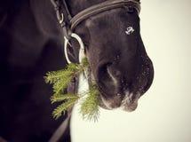 Museruola di un cavallo con un ramo dell'abete Fotografie Stock