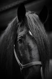 Museruola di un cavallo nero Fotografia Stock Libera da Diritti