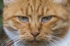 Museruola di un gatto rosso Fotografia Stock