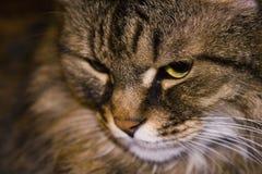 Museruola di un primo piano del gatto immagini stock