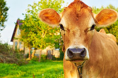 Museruola di una mucca contro una casa rurale Fotografia Stock Libera da Diritti