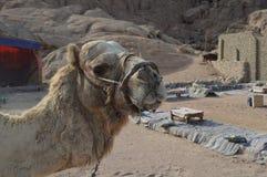 Museruola dura del canestro per il cammello Inhibits che morde e che mastica fotografia stock