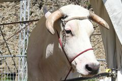 Museruola vicina su di una mucca di chianina Fotografia Stock