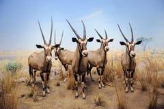 Museu americano da coleção da História natural Fotos de Stock