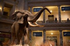 Museu da história natural de Smithsonian, C.C. Imagem de Stock Royalty Free