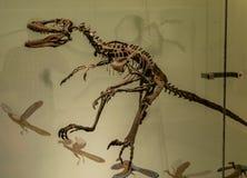 Museu de New York City de dinossauros das ciências naturais Foto de Stock