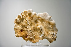 Museum specimen of fossilized coral Royalty Free Stock Photography